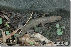 史單吉氏蝎虎(又名鋸尾蝎虎)-毛俊傑提供