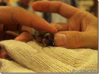 東亞家蝠~與人們居所很親近的蝙蝠(抓蝙蝠時要帶手套,觸碰後要洗手)