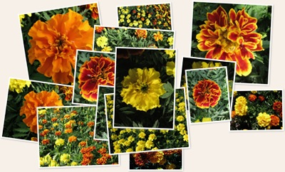 View Marigolds