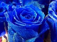 rosas (8)