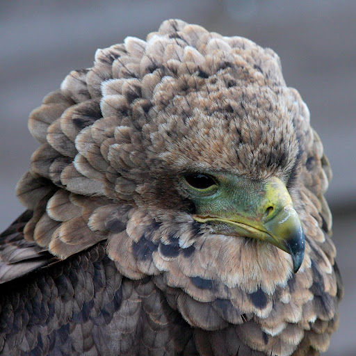 white tailed eagle/productions/bird/posters/north american/nest/pictures of