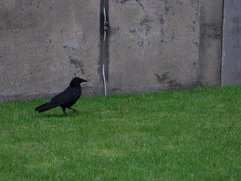 El corb 2