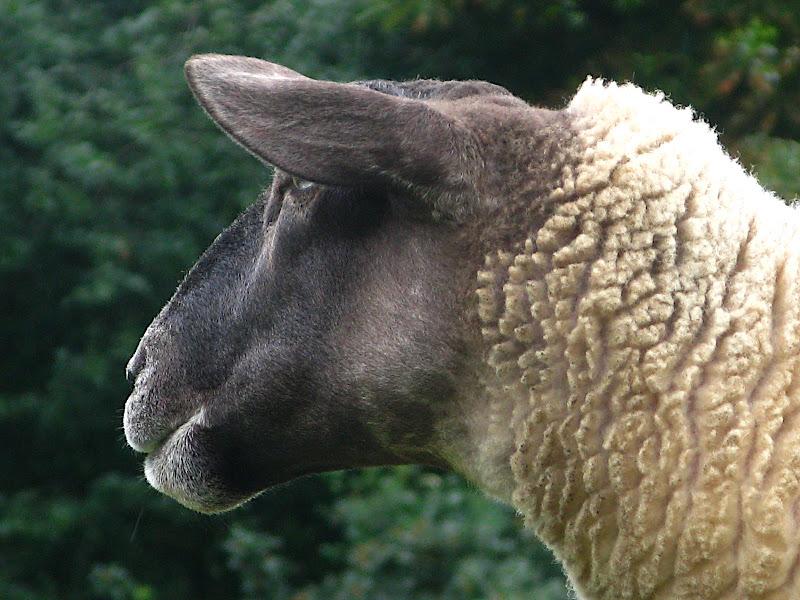 Hackney City Farm: Ovella