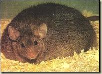fat-mouse
