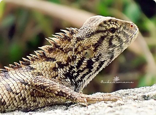lizard3a