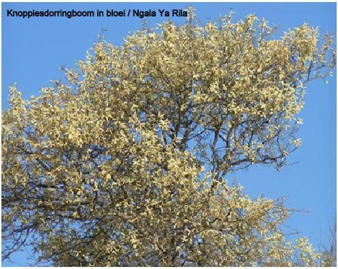 Ngala Ya Rila knoppiesdorringboom txt.jpg