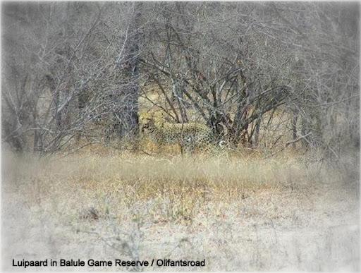 luipaard olifantsroad Balule txt.jpg