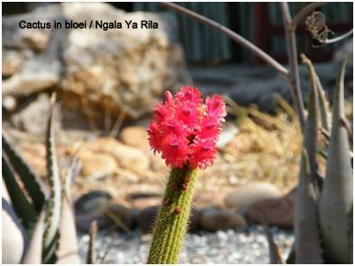 Ngala Ya Rila cactus in bloei txt.jpg