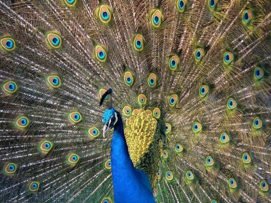 Peafowl or Peacock