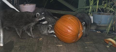 DSC_0046 coons checking out the pumpkin en az.jpg