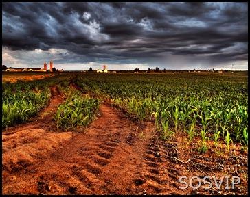 Corn-Sunset