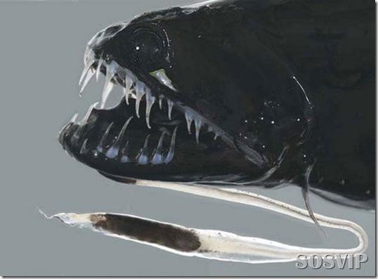Peixes estranhos esqusitos.jpg (12)