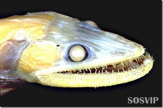Peixes estranhos esqusitos.jpg (15)