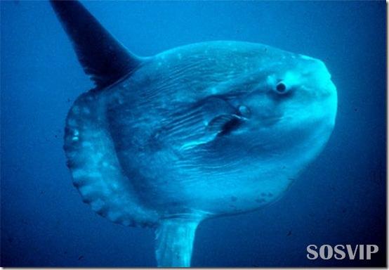 Peixes estranhos esqusitos.jpg (6)