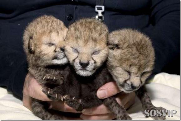 Animals baby - Bebes animais.jpg (5)