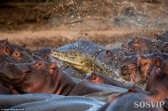 [hippo-attacked-the-crocodile Crocodilo atacado Hipopótamo.jpg (1)[4].jpg]