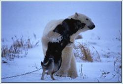 Белый мишка и лайка