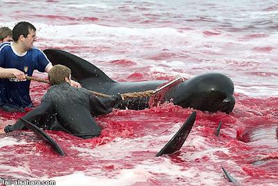 卡德龍海豚被無情的鐵鉤刺入