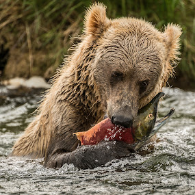 How to catch a salmon by Ferruccio Galbiati - Animals Other Mammals ( grizzly, bear, nature, alaska, travel photography,  )