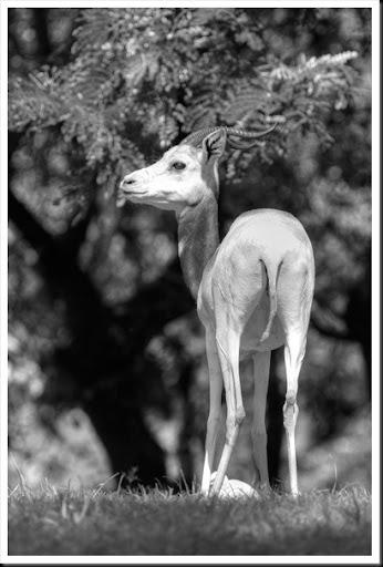 Gazelle3760