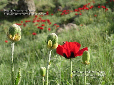 poppy field damavand Photo by A. Soltani