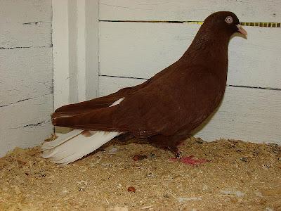 Donek pigeon