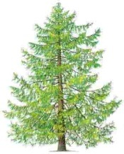 EuropeanLarch
