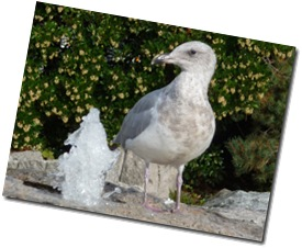 Seagull at fountain