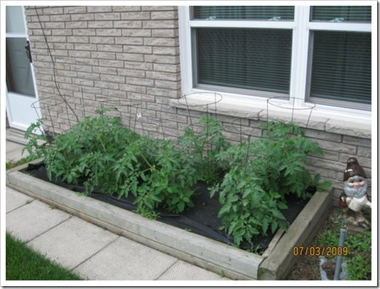 tomato plants fromDorothy