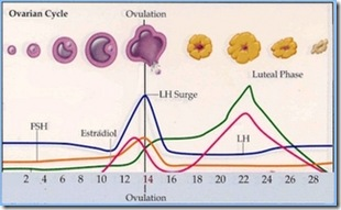 ovulacion 1