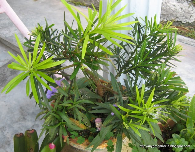 Hijau Larkin Update Pokok Podocarpus Ficus Ginseng Dll