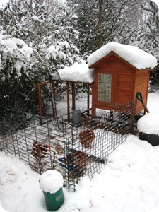 chooks in snow
