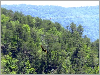 One of Several Turkey Vultures That Frequent the Gorge