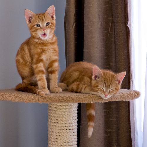 cute ginger kittens hanging out on scratching post
