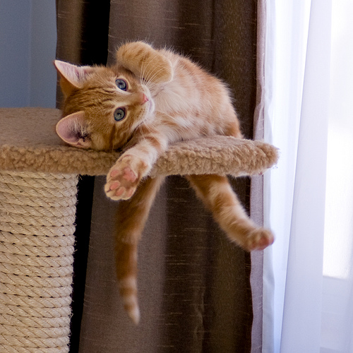 cute ginger kitten stretching on scratching post