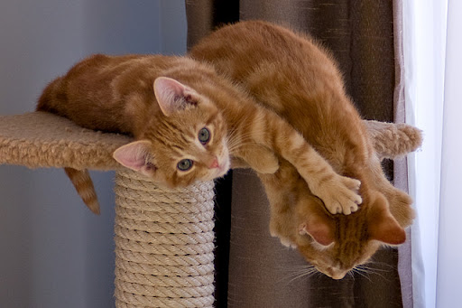 cute ginger kittens playing on a scratching post