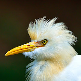The Heron by Maniraj M - Animals Birds ( bird, nature, wildlife, feathers, heron, animal )