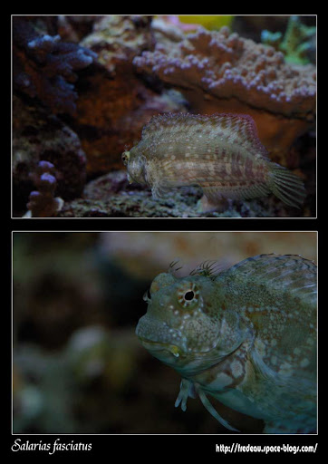 Salarias-fasciatus1.jpg