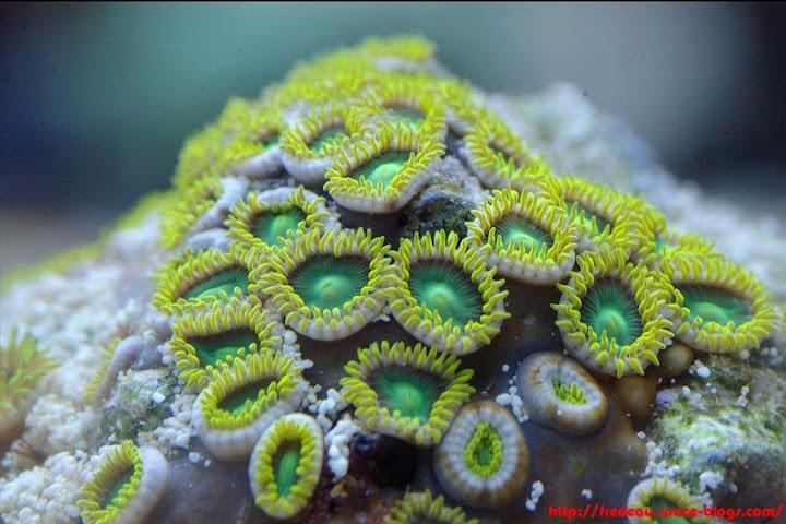 le récif du belon  Zoanthus2
