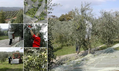 Visualizza raccolta olive