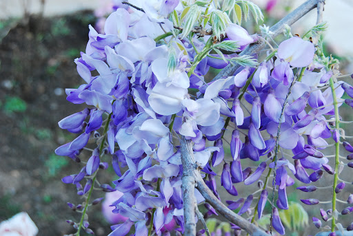 Types Of Wisteria Flowers