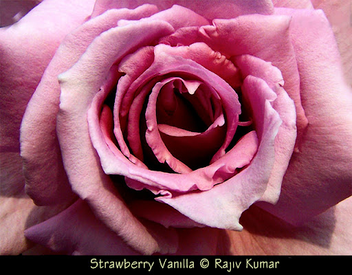 Strawberry Vanilla © Rajiv Kumar