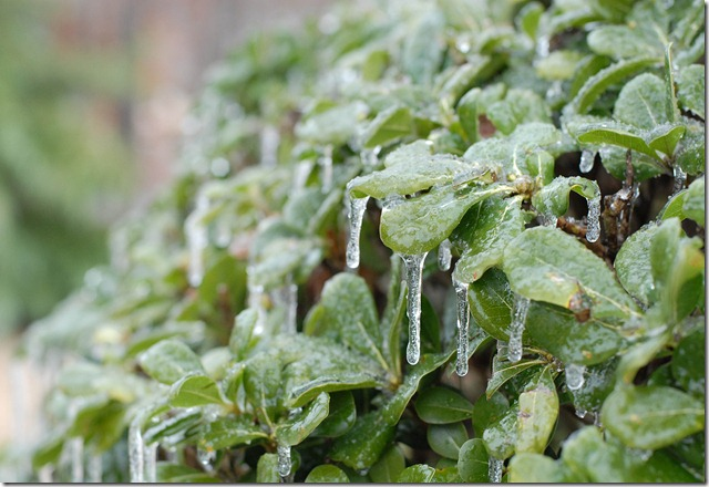 ice on bush