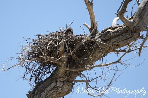 Hawk Nest2
