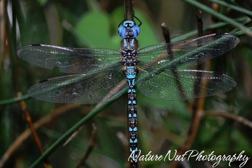 Blue Darner Dragonfly2