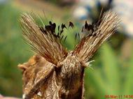 dudusa vethi snellen_lepidoptera_moth_ngengat 25