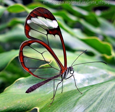 glasswing butterfly Greta_oto