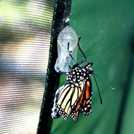 kupu-kupu keluar dari kepompong 7