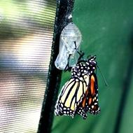 kupu-kupu keluar dari kepompong 8
