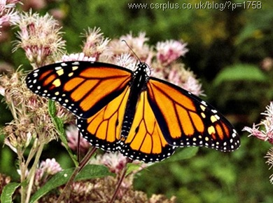 monarch butterfly_Danaus plexippus